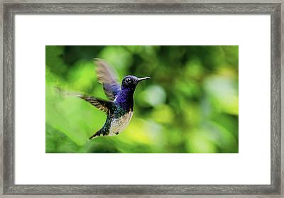 Framed Print featuring the photograph Flight Of The Hummingbird by Rob Tullis