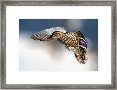 Flight Of The Mallard Framed Print by Bob Orsillo