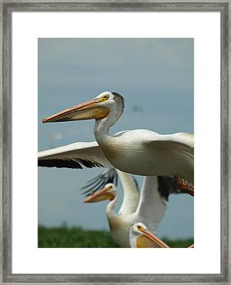 Flight Of The Pelican Framed Print by James Peterson