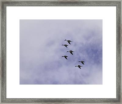 Flight Of The Pintails 1 Framed Print by Thomas Young
