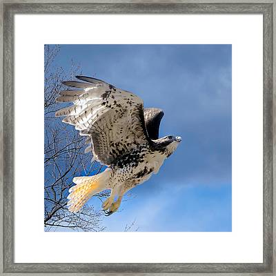 Flight Of The Red Tail Square Framed Print by Bill Wakeley