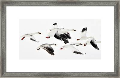 Flight Of The Snow Geese Framed Print by Dan Myers