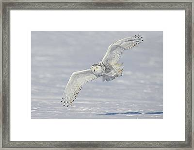Flight Of The Snowy Framed Print by Daniel Behm
