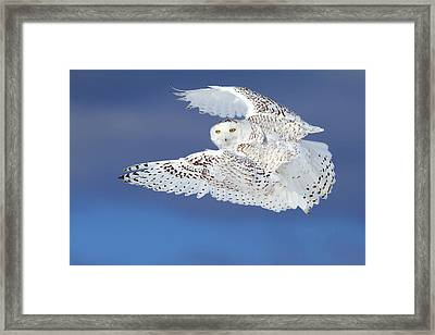 Flight Of The Snowy - Snowy Owl Framed Print