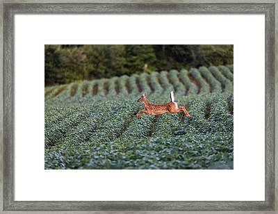 Flight Of The White-tailed Deer Framed Print by Everet Regal