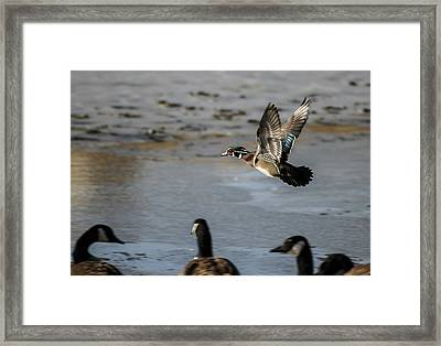 Flight Of The Wood Duck Framed Print