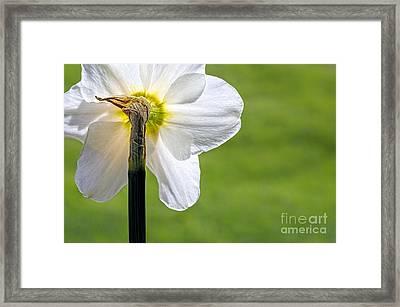 Flipside Of A Daffodil Framed Print by Madonna Martin
