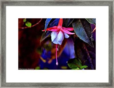 Framed Print featuring the photograph Flirtatious Fuschia by Wallaroo Images