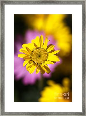 Framed Print featuring the photograph Floating Daisy by Joy Watson