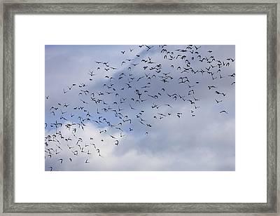 Flock Of Birds Rising - Available For Licensing Framed Print