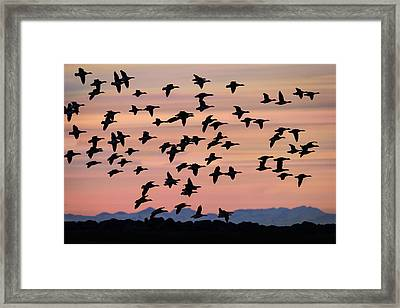 Flock Of Geese Flying At Sunset Framed Print by Panoramic Images