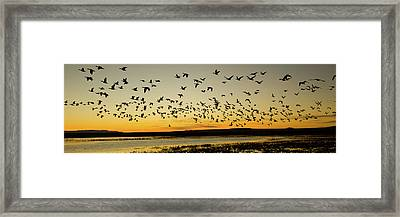 Flock Of Geese Rise Off Pond At Bosque Framed Print by Panoramic Images