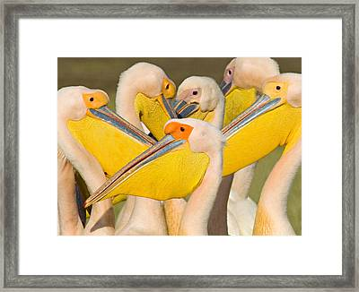 Flock Of Great White Pelicans, Lake Framed Print by Panoramic Images
