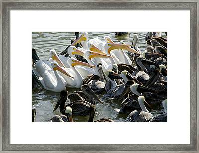 Flock Of Pelicans In Water, Galveston Framed Print