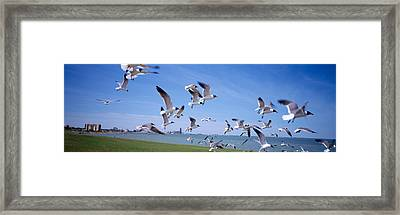 Flock Of Seagulls Flying On The Beach Framed Print by Panoramic Images