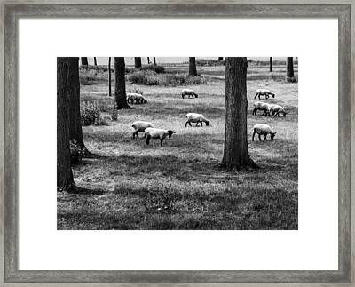 Flock Of Sheep Framed Print
