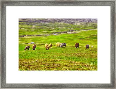 Flock Of Sheep Framed Print by Gabriela Insuratelu