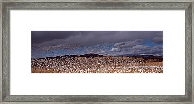 Flock Of Snow Geese Chen Caerulescens Framed Print by Panoramic Images