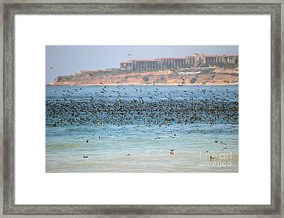 Flocking At Terranea Framed Print