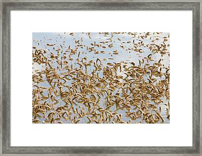 Flooded Crops Framed Print