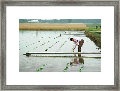 Flooded Soybean Crop Framed Print by Ann Houser/us Department Of Agriculture