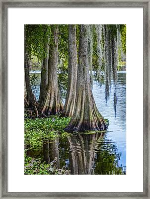 Florida Cypress Trees Framed Print by Carolyn Marshall