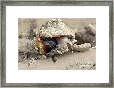 Framed Print featuring the photograph Florida Fighting Conch by Meg Rousher