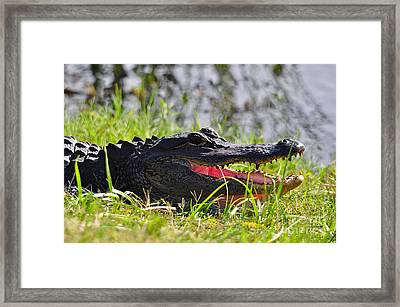Gator Grin Framed Print by Al Powell Photography USA
