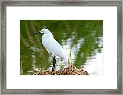 Florida, Immokalee, Snowy Egret Hunting Framed Print by Bernard Friel