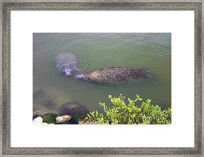 Florida Manatee Pair Framed Print
