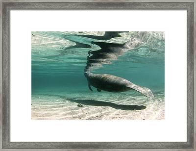 Florida Manatee Taking Air At Surface Framed Print