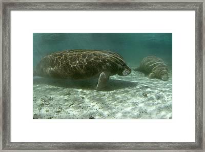Florida Manatees Framed Print