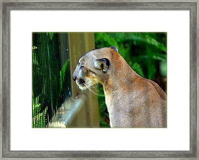 Framed Print featuring the photograph Florida Panther by Amanda Vouglas