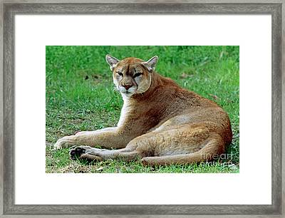 Florida Panther Framed Print by Millard H. Sharp