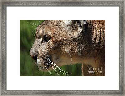 Framed Print featuring the photograph Florida Panther Profile by Meg Rousher