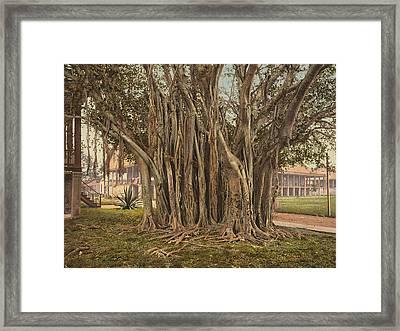 Florida Rubber Tree, C1900 Framed Print by Granger