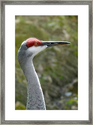Florida Sandhill Crane Framed Print by Christine Till