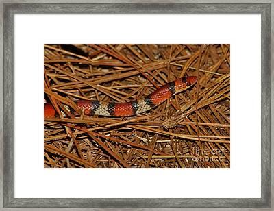 Florida Scarlet Snake Framed Print