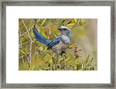 Florida Scrub Jay Framed Print by Jennifer Zelik