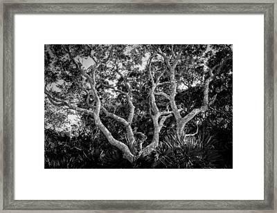 Florida Scrub Oaks Bw   Framed Print by Rich Franco