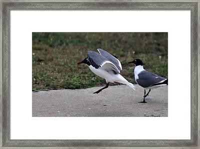 Florida Seagulls Framed Print by Debra Forand