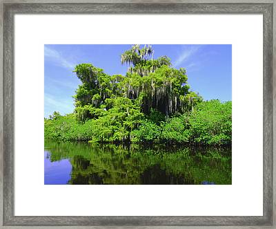 Florida Swamps Framed Print by Carey Chen