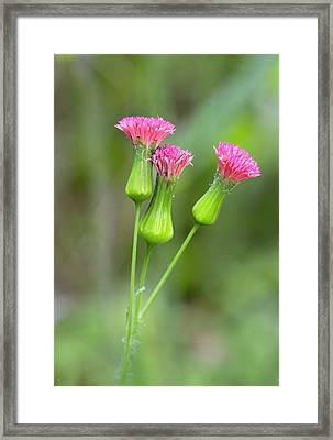 Florida Tasselflower (emilia Fosbergii) Framed Print by Bob Gibbons