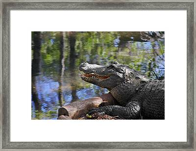 Florida - Where The Alligator Smiles Framed Print by Christine Till