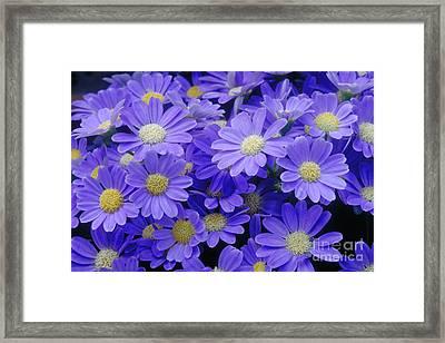 Florists Cineraria Hybrid Framed Print