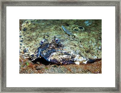 Flounder Camouflaged On A Reef Framed Print