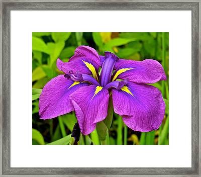 Iris 106 Framed Print by Patsy Pratt