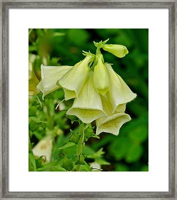 Canterbury Bells 113 Framed Print by Patsy Pratt