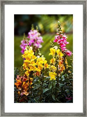 Flower - Antirrhinum - Grace Framed Print by Mike Savad