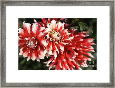 Flower-dahlia-red-white-trio Framed Print by Joy Watson